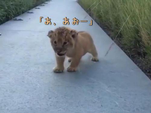 ライオンの赤ちゃん吠える00