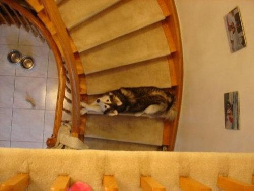 猫みたいなハスキー犬04