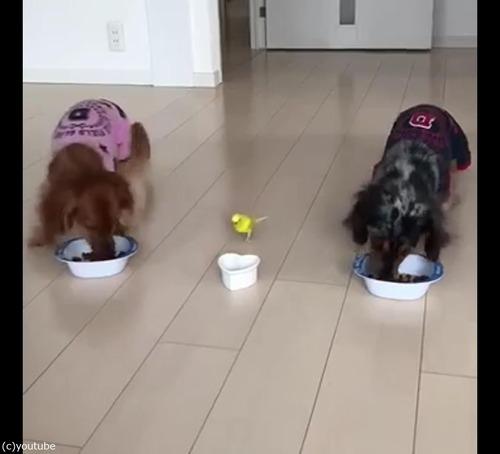 犬と並んでご飯を食べるインコ03