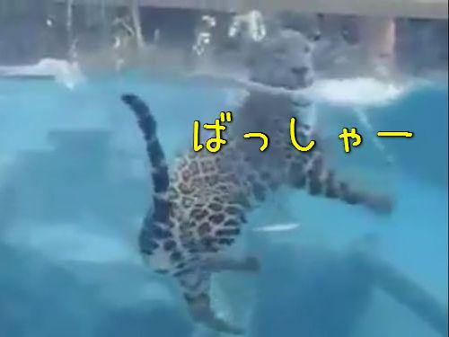 ジャガーの泳ぎ00