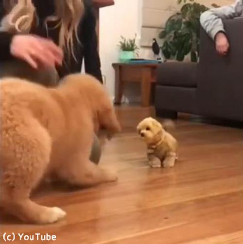 子犬、おもちゃの犬に激しくやきもちをやく02