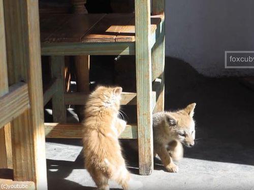 子ギツネと子猫02