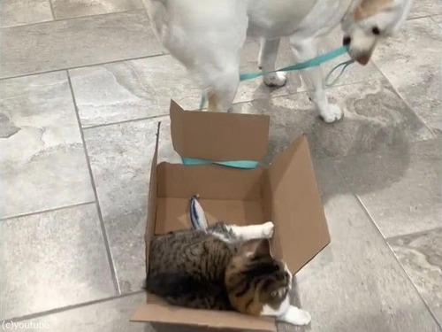 箱入りの猫を引きずる犬00
