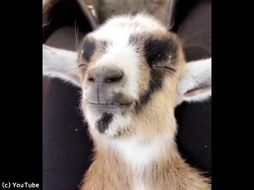 こんなに気持ちよさそうなヤギの寝顔、見たことある?00