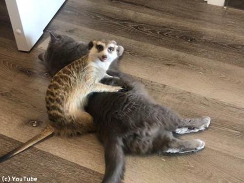 猫を寝かしつけるミーアキャット00