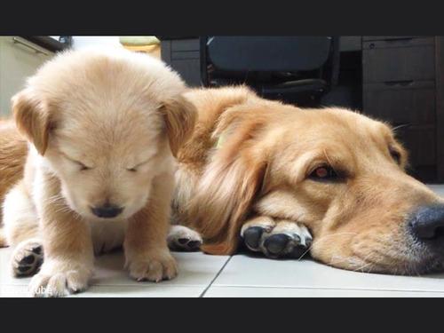 子犬が睡魔と格闘→あっさり負ける00