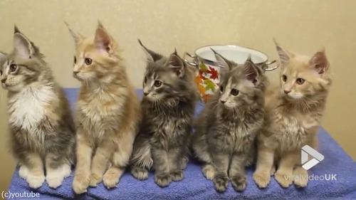シンクロ率400%なメインクーンの子猫たち02