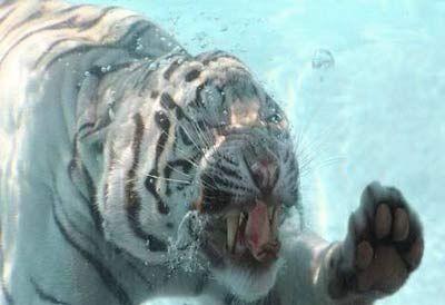 泳ぐ虎14