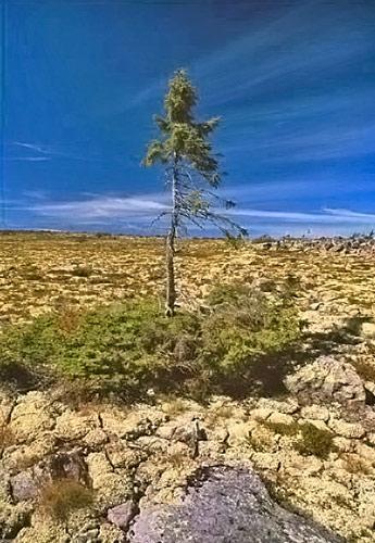 世界最古の木