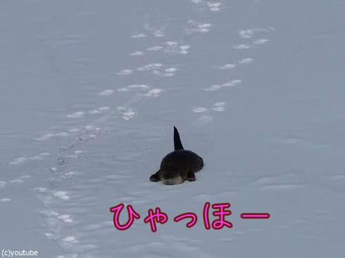 雪をすべるカワウソ00