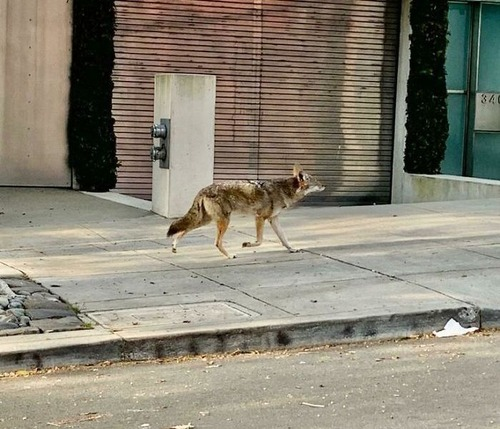 街中に出現した野生動物01