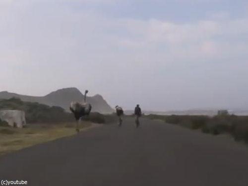 自転車と並走するダチョウ04