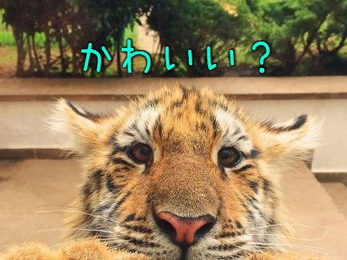 虎のローラ00
