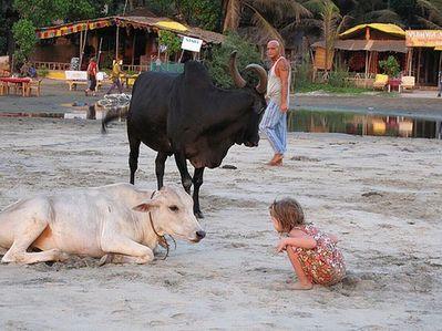 リゾート・ビーチに牛20