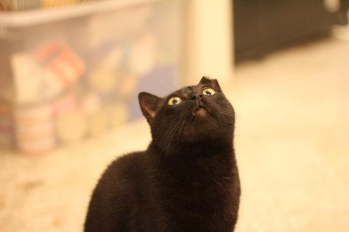 シーリングファンをつけたときの猫のリアクション02