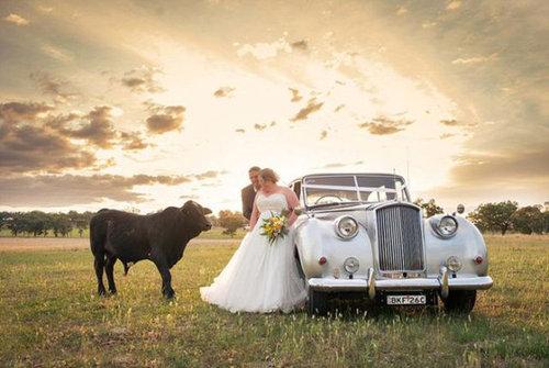 結婚写真に牛04