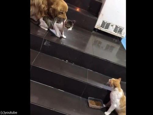 猫のケンカを強引に止める犬00