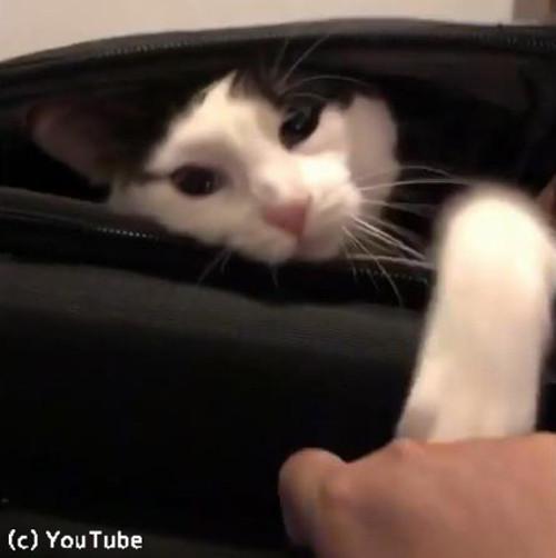 スーツケースを占拠する猫04