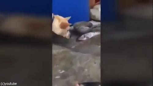 魚を助ける犬04