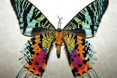 ニシキオオツバメガ