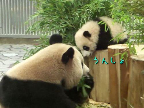 重力を知ったパンダの赤ちゃん00