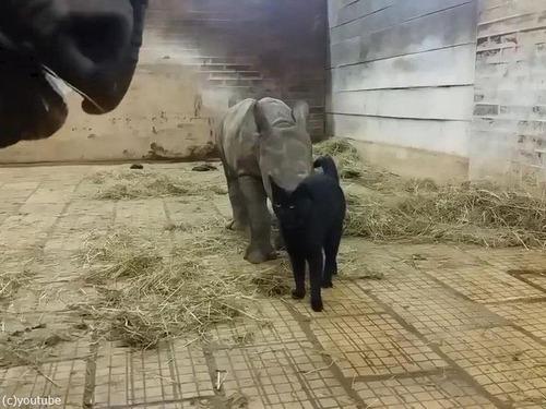 サイの赤ちゃんと猫00