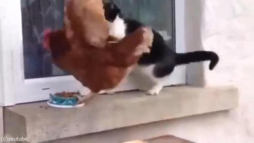 猫とニワトリ04
