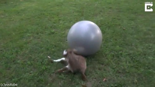 子ヤギにバランスボールを与えた結果03