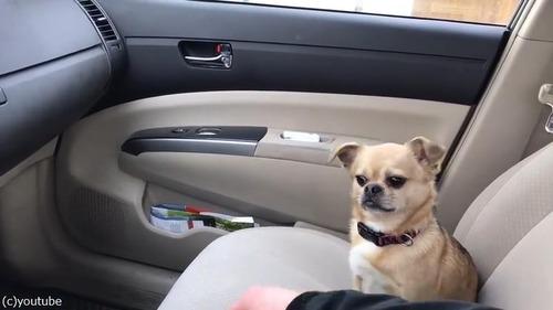 運転しようとする飼い主を止める犬04