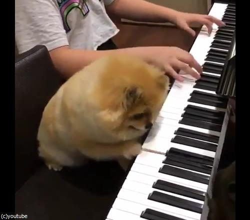 うちの犬はピアニスト04