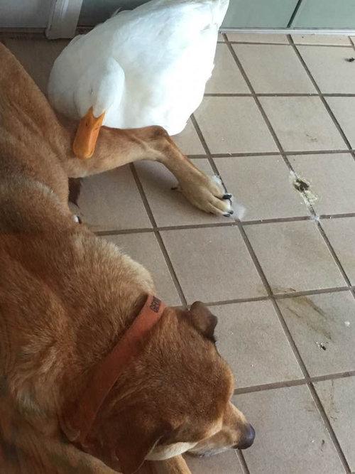 アヒルと出会って元気を取り戻した犬04