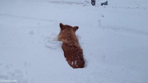 コーギーの雪遊び03