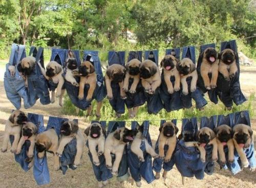 洗濯物として干された子犬たち09