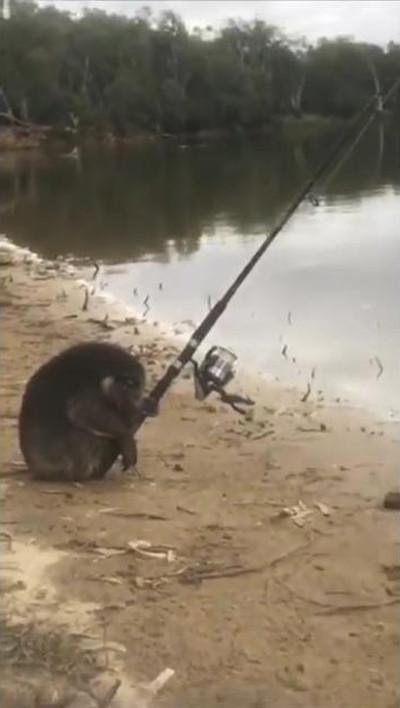 一体なぜ? 釣りを楽しむコアラが発見される03