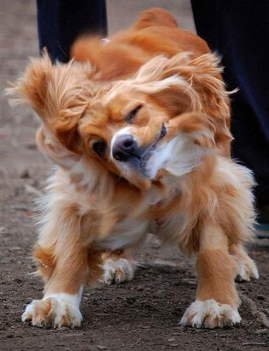 犬のブルブル10