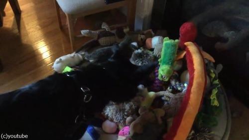 犬にお気に入りのおもちゃを選ばせたら…02