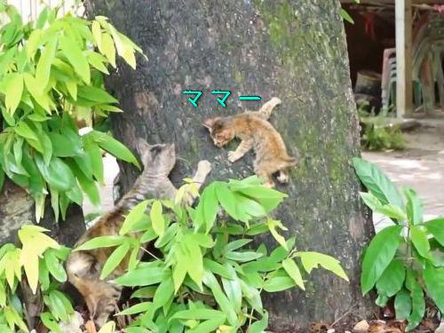 子猫がお母さんと木登り練習00