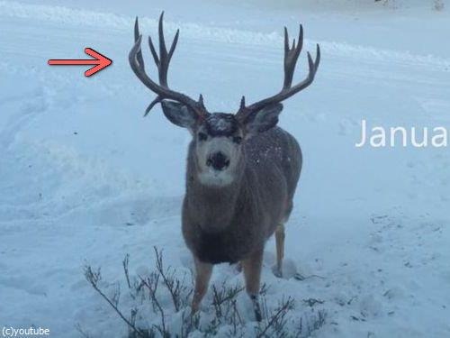 鹿のツノが抜け落ちる瞬間00