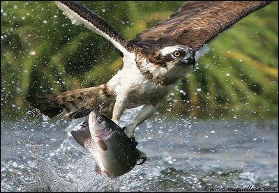 正面から撮影されたミサゴの魚を捕らえる脅威の瞬間-タカ