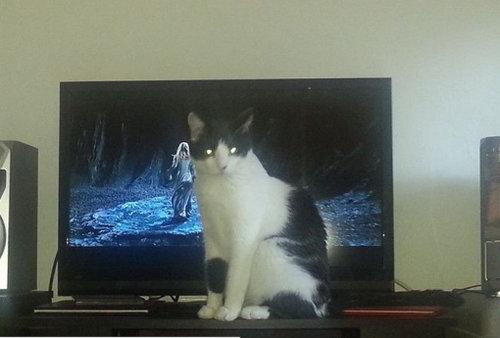 テレビを見るのを邪魔する猫01