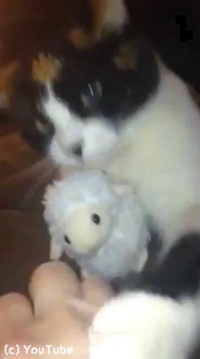 「あげません!」鋭い目つきでぬいぐるみを守る猫様04