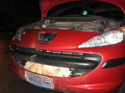 時速110kmの車に衝突した犬、速すぎて車にすっぽり埋まり無事