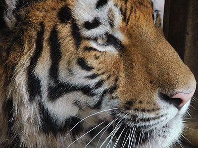 虎のカモフラージュ00