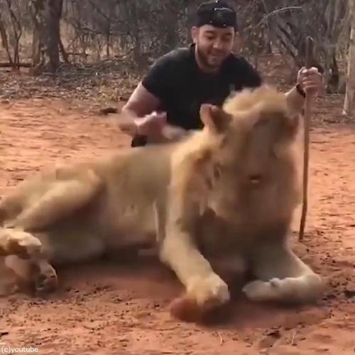 ライオンのクシャミ03