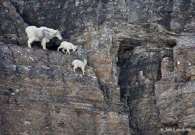 ヤギの崖を登る能力04