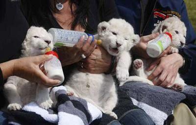 ホワイト・ライオンの赤ちゃんたち01