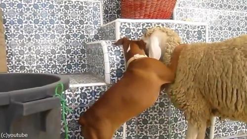 羊を愛してやまないボクサー犬の赤ちゃん02