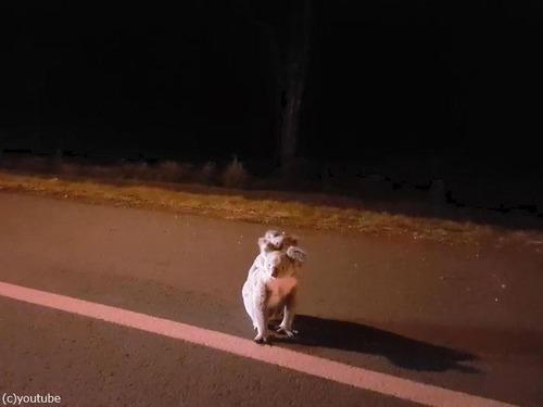 深夜3時にコアラの親子01