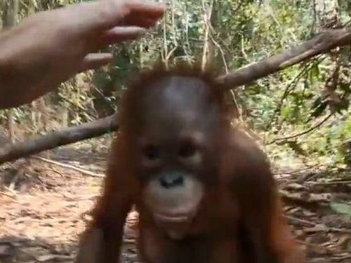 オランウータンの赤ちゃん00