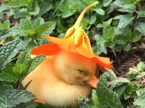 花の帽子をかぶったアヒルの赤ちゃん03